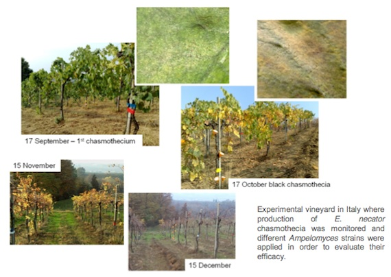 BCA grape work project 4 - experimental vineyard in Italy where production of E. necator chasmothecia was monitored and different Ampelomyces strains were applied in order to evaluate their efficacy
